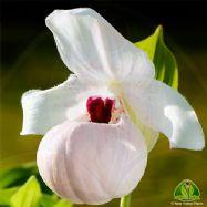Cypripedium flavum x reginae alba